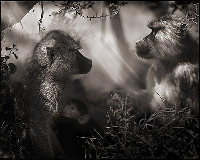 Baboons in Profile, Amboseli 2007© Nick Brandt