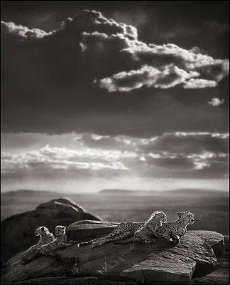 Cheetah and Cubs Lying on Rock, Serengeti 2007© Nick Brandt