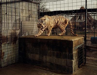Taryn Simon, White Tiger (Kenny), Selective InbreedingTurpentine Creek Wildlife Refuge and FoundationEureka Springs, Arkansas© 2007 Taryn Simon/Courtesy Steidl/Gagosian