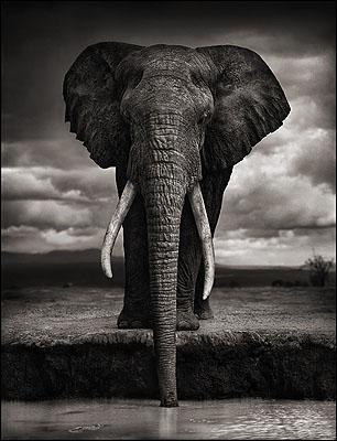 © Nick Brandt, Elephant Drinking, Amboseli 2007