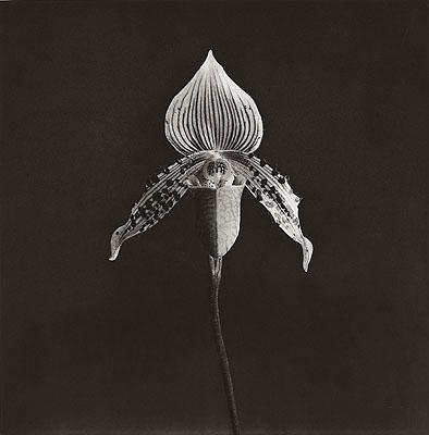 Robert MapplethorpeOrchid. 1987 Photogravure on vellum. 83 x 82 cm (114 x 97 cm). Lot 242 / € 14 000Auction 949 Photography