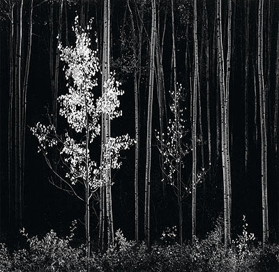 Ansel Adams, Aspens, Northern New Mexico, silver print, 1958; printed late 1960s. Estimate: $20,000 to 30,000. © Center for Creative Photography, University of Arizona