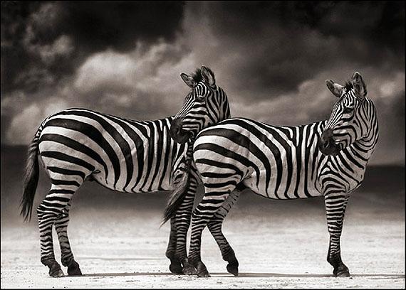 Nick Brandt, Zebras Turning Heads, Ngorongoro Crater, 2005