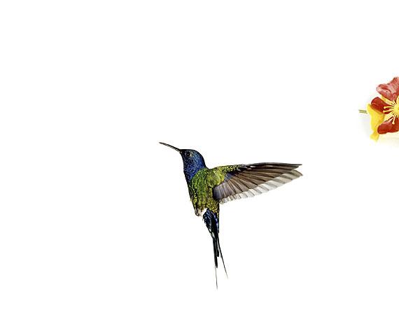 Sanna KannistoHummingbird flight: Eupetomena macroura (Detail), 2005