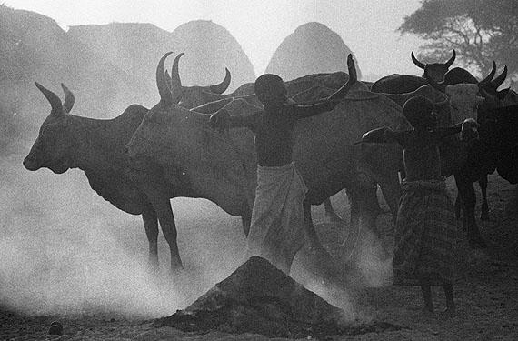 Cows in Smoke, 1967/68MR2223, Gelatin Silver PrintEdition 1/15, 50 x 60 cm © Mirella Ricciardi, Courtesy Bernheimer Fine Art Photography