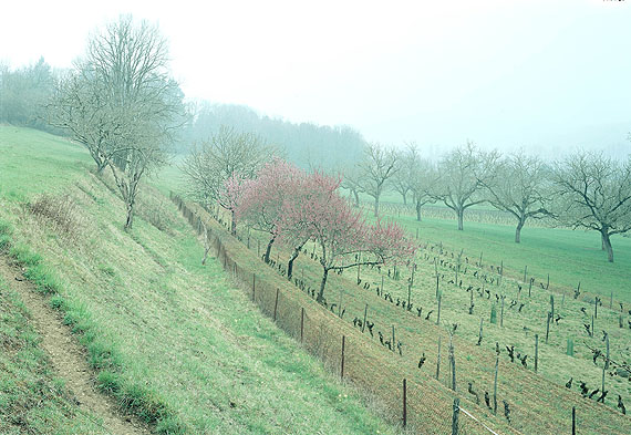 Bei Lascaux (Landschaft mit blühenden Pfirsichblumen) Montignac, Dordogne 2009© Simone Nieweg