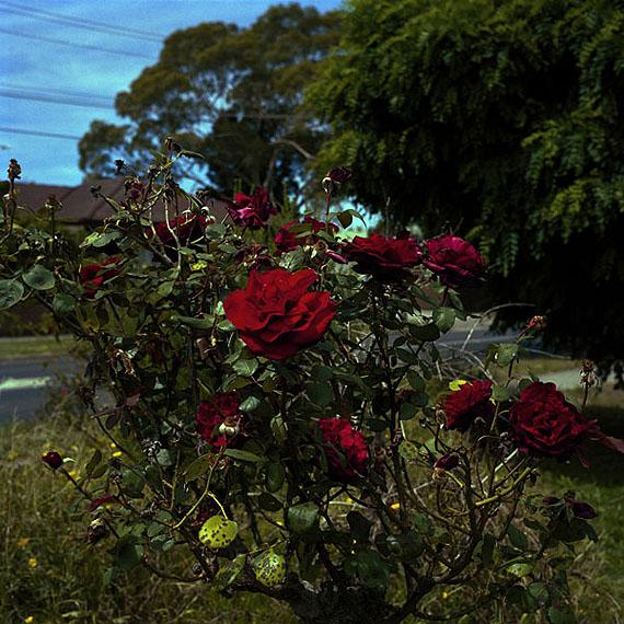 GLENN SLOGGETTDiseased Roses, 2011type C print80 x 80cmEditions of 5 + 1AP