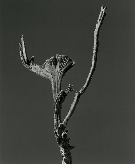 Cactaccae, Monvillea, Mexico © Christian von Alvensleben: Gelatin silver, handmade enlargement, selenium toned, 50 x 60 cm, limited edition of 2 prints + 1 AP