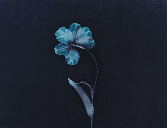 Tulip, cyanotype© Alexander Hamilton 64 x 50 cm£900 + vat