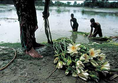 Alexandra Boulat, Lotus flowers in Hamidpur, Bangladesh