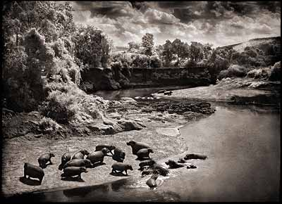 Nick Brandt, Hippos on Mara River, 2004, pigment ink print. Copyright the artist, courtesy of Stephen Cohen Gallery