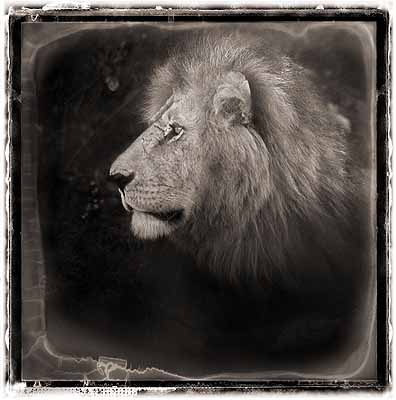 Nick Brandt, Lion Portrait, 2004, pigment ink print. Copyright the artist, courtesy of Stephen Cohen Gallery