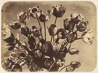 Lot 4019. Adolphe Braun. Tulips. 1858. Albumen print. Estimate: €  1200
