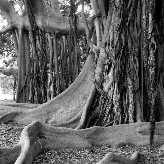 Mauro Casalboni: Ficus macrophylla - Palermo