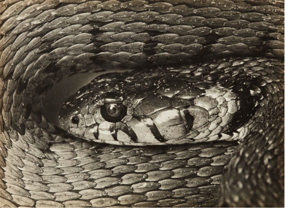 Albert Renger-Patzsch, Natterkopf, 1925