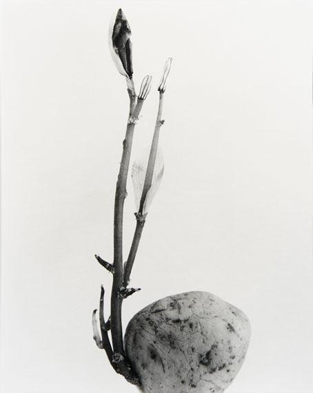 Joan Fontcuberta: Typhatata Ppulcra, aus der Serie: Herbarium, 1982