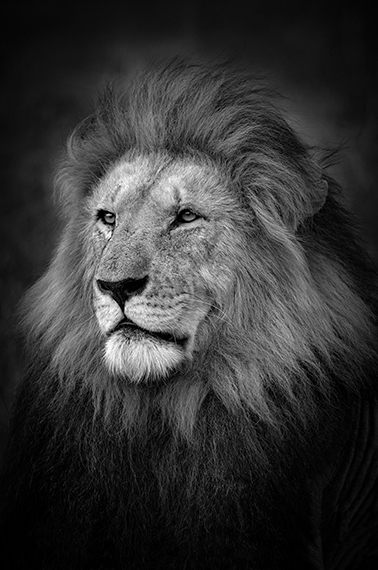 Björn Persson, The King, Masai Mara, Kenya, 201727.5 x 41 inches - (other sizes & pricing available)Pigment print from a limited edition of 10$2,500 USD  (plus tax & framing)Robert Klein Gallery, Boston