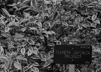 Robert Zahornicky: Cleyera japonica, tricolor, Botanischer Garten Madrid, 2008, 24 x 30 cm, sw- Silvergelatine, Papier © Robert Zahornicky