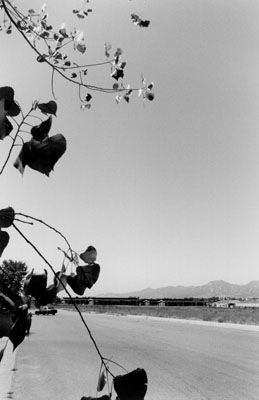 Robert Adams, Cottonwood Leaves, Boulder County, Colorado, 1988