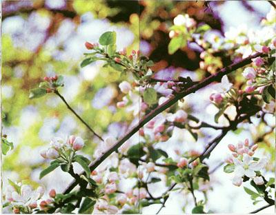 Miklos Gaál, Viewing an Apple Tree, 2009, artist book. 5-colour silkscreen printing, 9 spreads each 43,5 x 57 cm