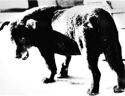 Daido Moriyama: Misawa (Stray Dog), 1971 , © Daido Moriyama, courtesy Galerie Priska Pasquer, Cologne