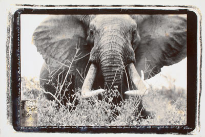 Peter Beard, TSAVO NORTH – ATHI TIVA LUGGA, BULL ELEPHANT, (Ca. 150-160 LBS/SIDE). 1965, Later gelatin silver print, with collage, 50 x 75,5 cm (ca. 56 x 80 cm)